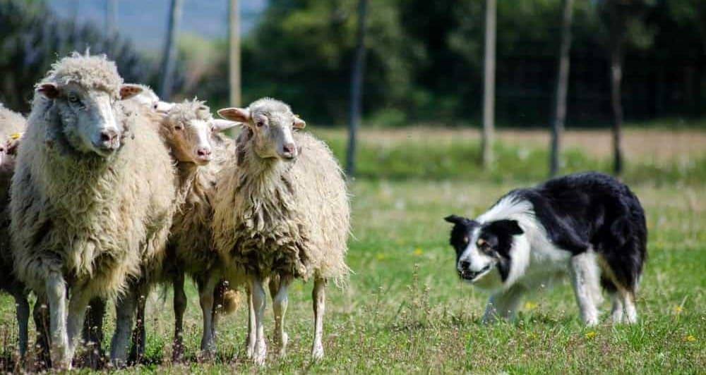 Cani E Pecore Lo Sheepdog Expodog Blog