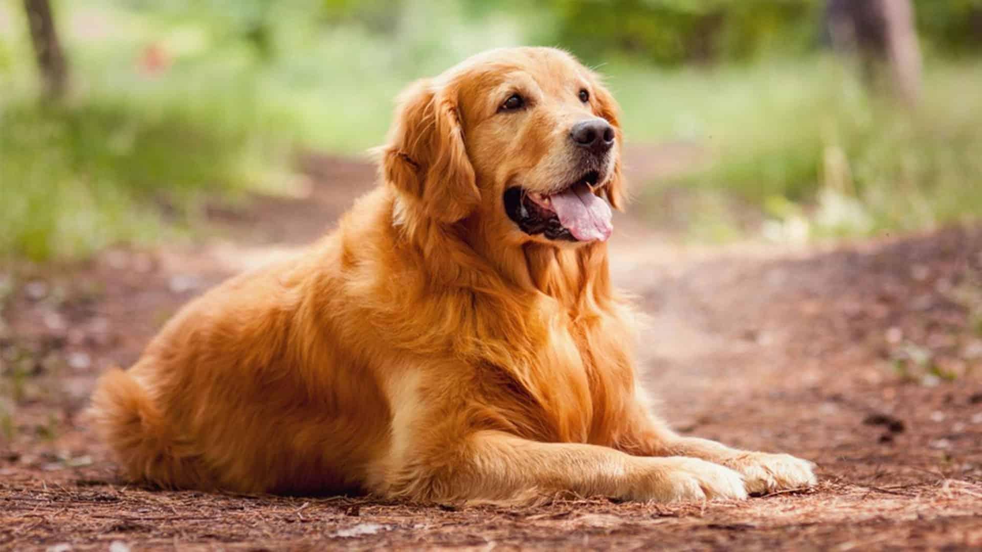 5 Motivi Per Avere Un Golden Retriever Expodog Blog