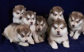 cuccioli di alaskan malamute