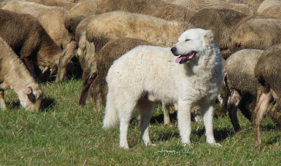 pastore maremmano abruzzese nel gregge di pecore